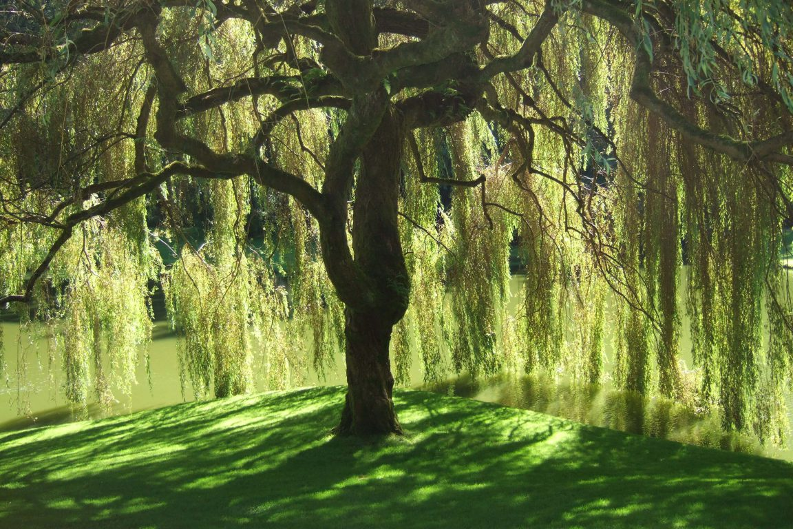 Beneath the Willow Tree